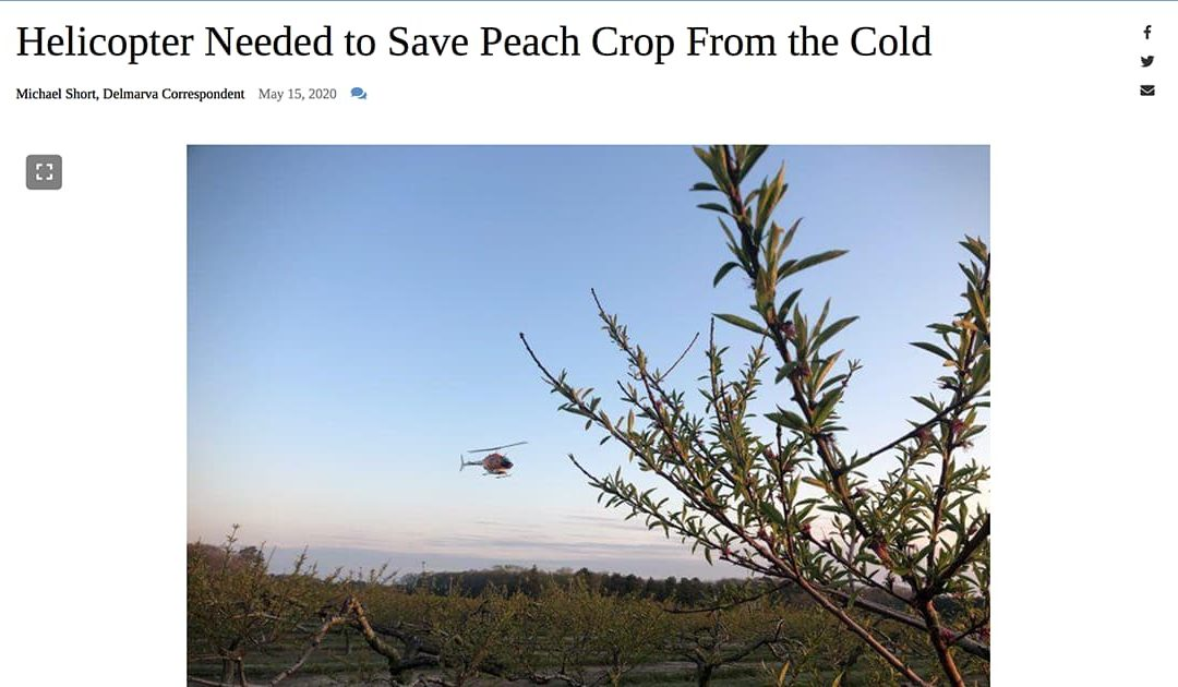 Article Header of Helicopters saving Peach Crop